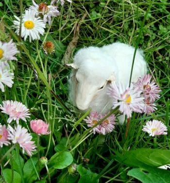 Dream Sheep by Olga
