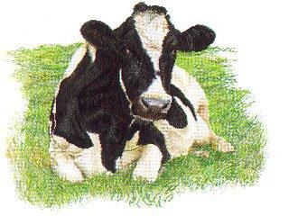 Thea Gouverneur GOK451 Holstein Cow Looking Forward